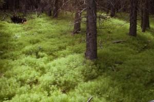 horsetailforest